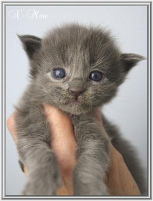 Maine Coon Kitten X-Men 18 Tage