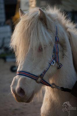 Oktober 2017  - Fortuna 1  1/2 Jährig und frisch aus Island eingetroffen aus dem Jahr 2011