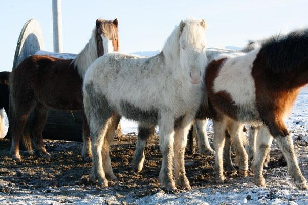Februar 2020 - Fortuna, halbjährig auf Island im Jahr 2011