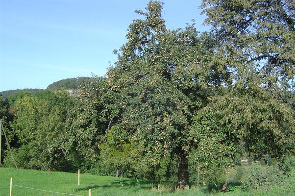 Hochstammobstbaum auf dem Biohof Rüebisberg