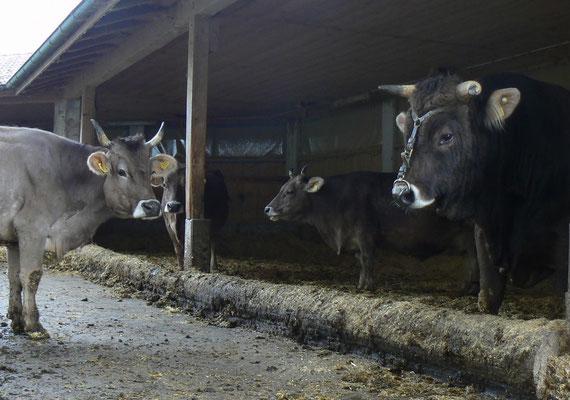 Kuh und Stier im Laufstall, Biohof Rüebisberg