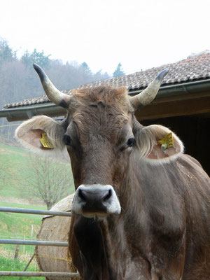 Kuh mit Hörnern, Biohof Rüebisberg