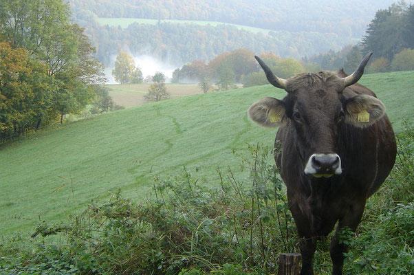 Kuh im Herbst, Biohof Rüebisberg
