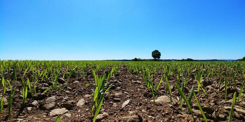 Gerste am Anfang des Jahres, jetzt beginnt ein halbes Jahr Bangen was daraus wird. Denn in der Bioladwirtschaft, kann man im Nachhinein nicht mehr viel ändern.