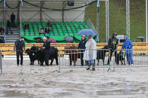 Bei der Bewertung der Kühe