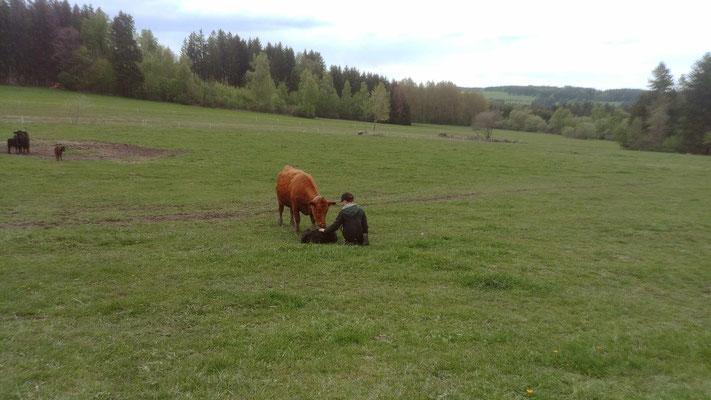 Unser Sohn ganz nah bei einer Kuh