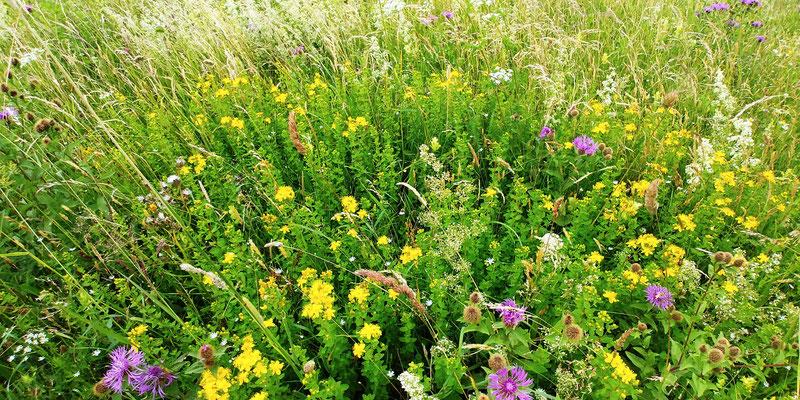 Johanniskraut, Heilpflanze, gut bei Stimmungsschwankungen.