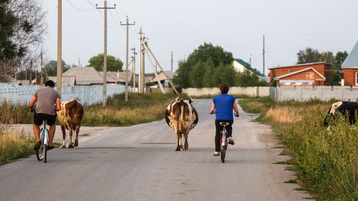 Am Abend geht es mit Kuh wieder nach Hause.
