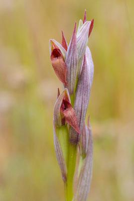 Kleinblütiger Zungenstendel (Serapias parviflora)