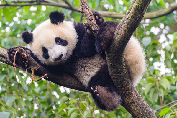 Großer Panda, Chengdu Panda research