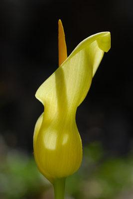 Kretischer Aronstab (Arum creticum)
