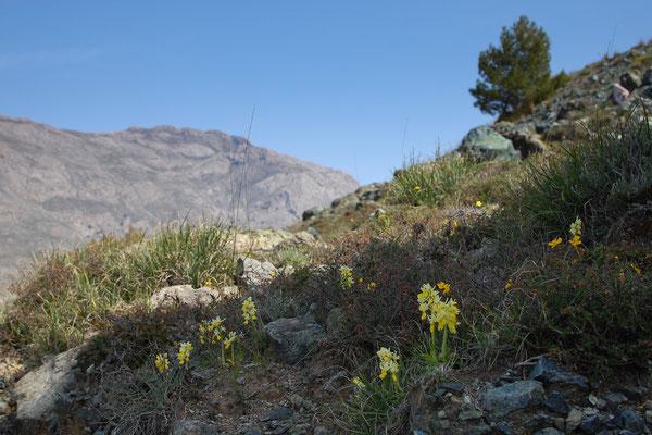 Wenigblütiges Knabenkraut (Orchis pauciflora) bei Vatos