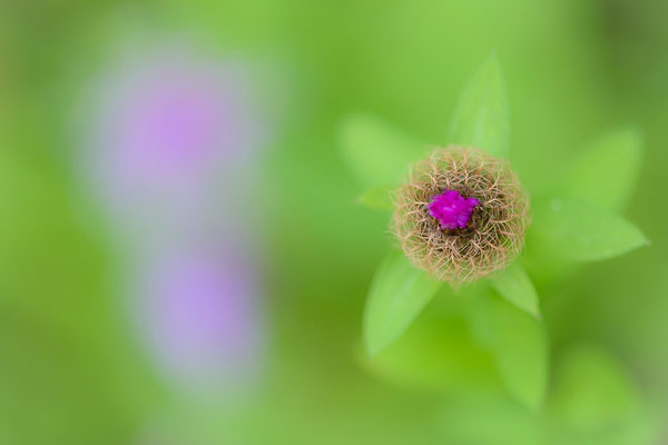Perückenflockenblume