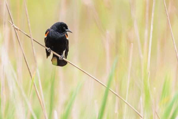 Red-winged blackbird (Ageleius phoeniceus)