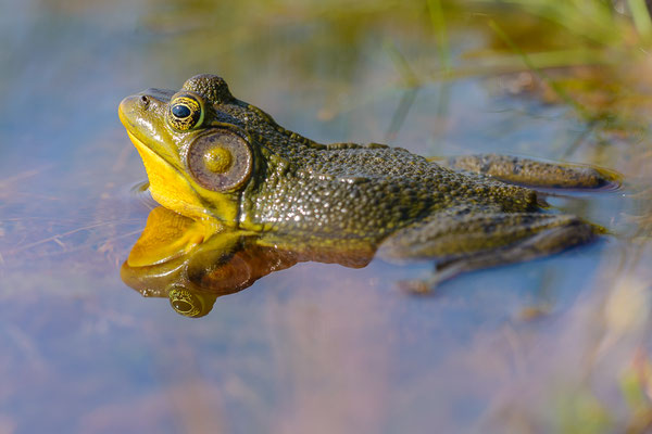 American frog