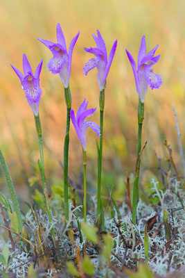 Dragon´s mouth (Arethusa bulbosa)