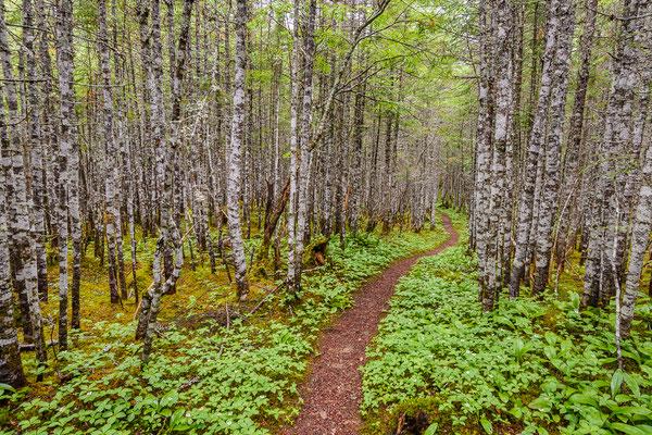 Borealer Wald mit Balsamtannen (Abies balsamea) und Kanadischem Hartriegel (Cornus canadiensis)