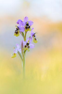 Wespen-Ragwurz (Ophrys tenthredinifera ssp. neglecta)