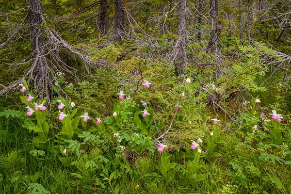 Orchideen-Sumpfwald mit Cypripedium reginae