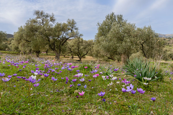 Anemone coronaria und Ranunculus asiaticus