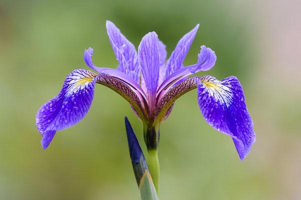 Blue flag (Iris versicolor)