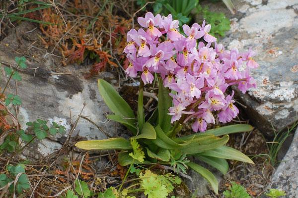Hybride zwischen Vierpunkt-Knabenkraut und wenigblütigem Knabenkraut (Orchis quadripunctata X pauciflora)