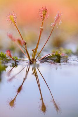 Sonnentau (Drosera spec.)