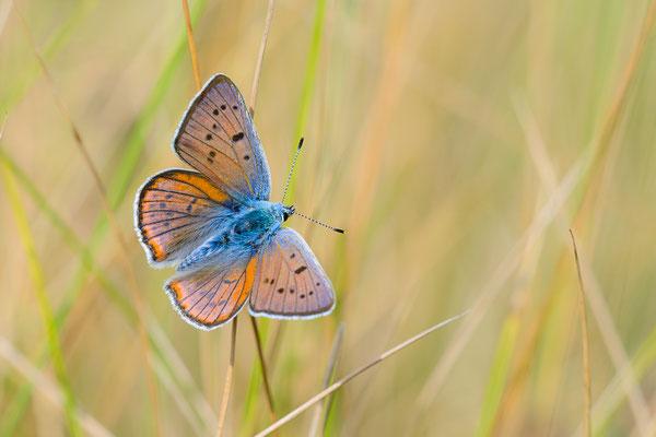 Violetter Feuerfalter (Lycaena alciphron)