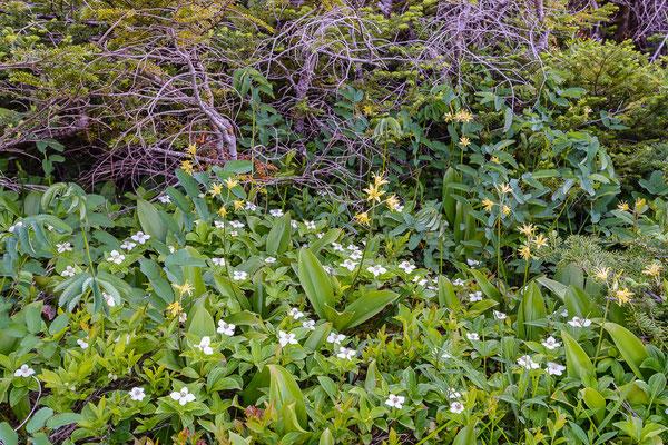 Krummholzvegetation (Tuckamoore) mit Clintonia (Clintonia borealis)