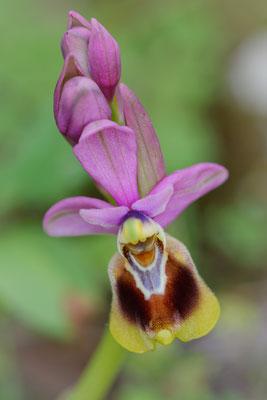 Zottige Wespen-Ragwurz (Ophrys tenthredinifera ssp. villosa)