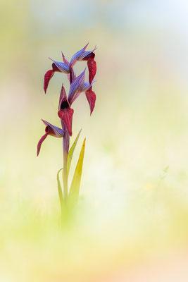 Sizilianischer Zungenstendel (Serapias orientalis ssp. siciliensis)