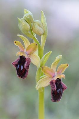 Vorgebirgs-Ragwurz (Ophrys promontorii)