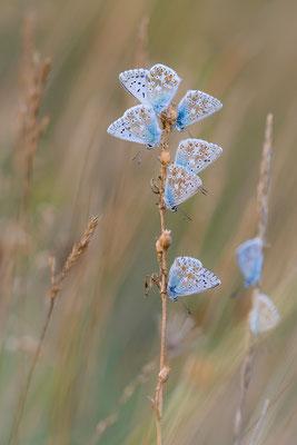 Silber-Bläuling (Polyommatus coridon)