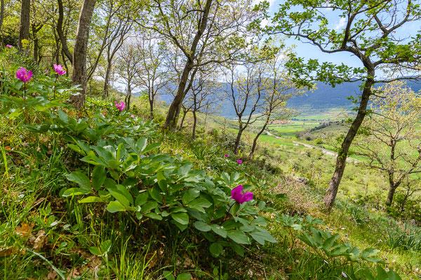 lichter Eichenmischwald mit Pfingstrosen (Paeonia mascula) bei San Giovanni