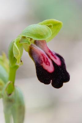 Mesara-Ragwurz (Ophrys iricolor ssp. mesaritica), hyperchrome Variation