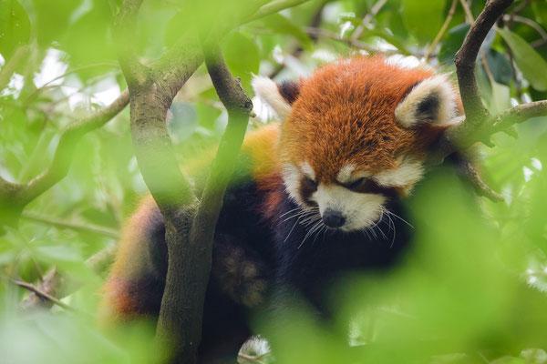 Roter Panda, Chengdu Panda research