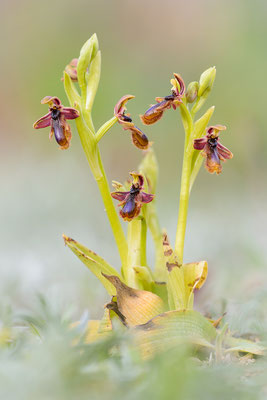 König-Ferdinand-Ragwurz (Ophrys regis-ferdinandii)