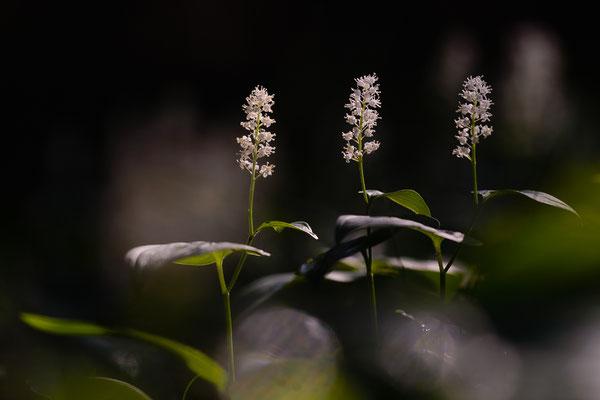 Waldschattenblümchen