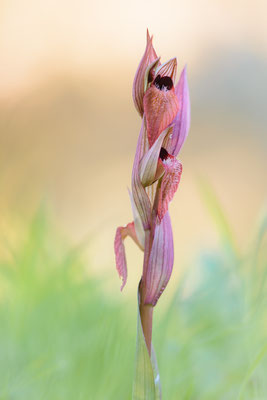 Karischer Zungenstendel (Serapias orientalis ssp. carica)