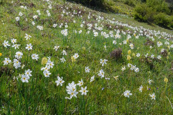 Wiese mit Stern-Narzissen (Narcissus radiiflorus) am Monte Calvo