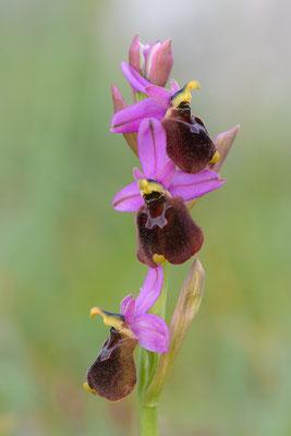 Hybrid zwischen Brillen - und Wespen-Ragwurz (Ophrys biscutella X tenthredinifera)