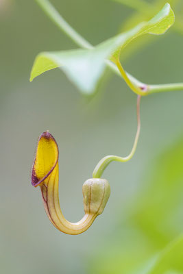 Osterluzei (Aristolochia spec.)