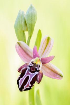Belonia-Ragwurz (Ophrys cretica ssp. beloniae)