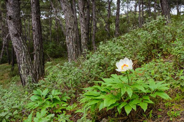 Rhodische Pfingstrose (Paeonia clusii ssp. clusii)