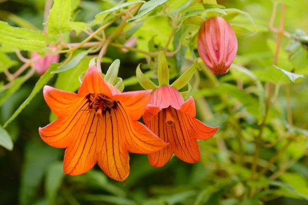Kanaren-Glockenblume (Canarina canariensis)