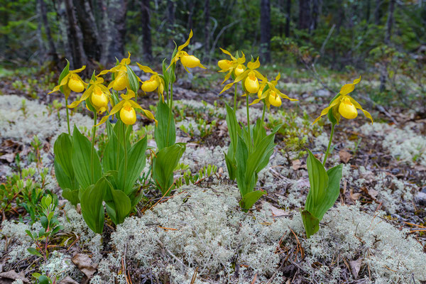 Behaarter Frauenschuh (Cypripedium pubescens)