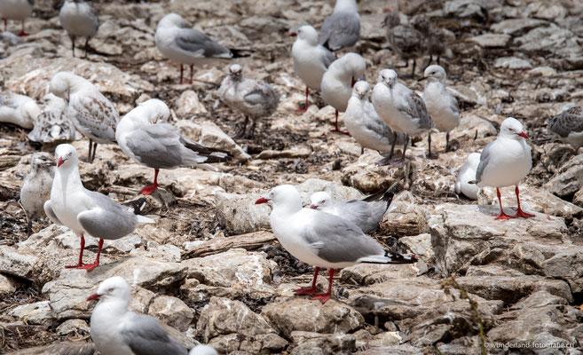 Vögelkolonie in Kaikoura