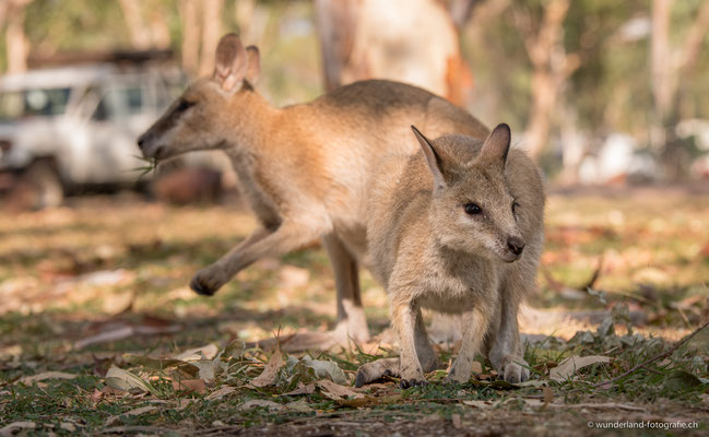Wallabys auf dem Camping in Nitmiluk Gorge