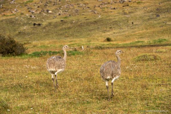 Nandus in Torres del Paine