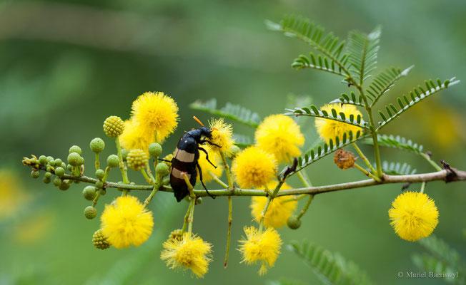 Käfer in Südafrika